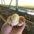 口福鶏の雛が来ましたよ😀