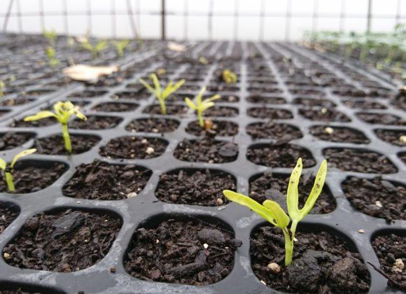 エンツァイの芽が出始めました
