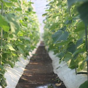 島原の夏 農業の夏
